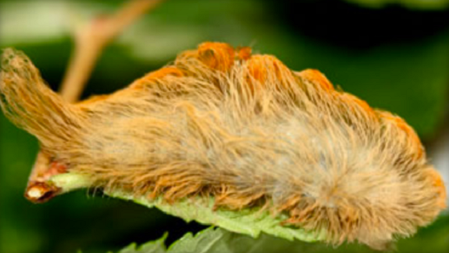"""It's the most venomous caterpillar in the U.S. and even a simple brush with the insect can cause """"excruciating pain,"""" according to National Geographic.  FACEBOOK/CINDY ROLDAN"""