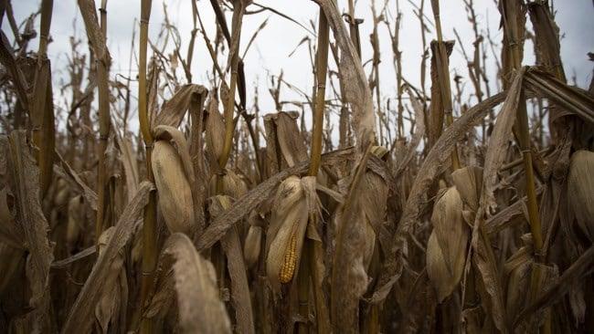 Drying cornstalks wilt on the field before the late harvest at a farm in Ohio. (AP Photo/John Minchillo)