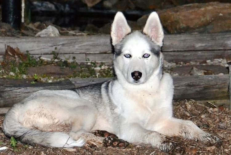 Shadow, a one-year-old Siberian Husky, has been missing since October 28