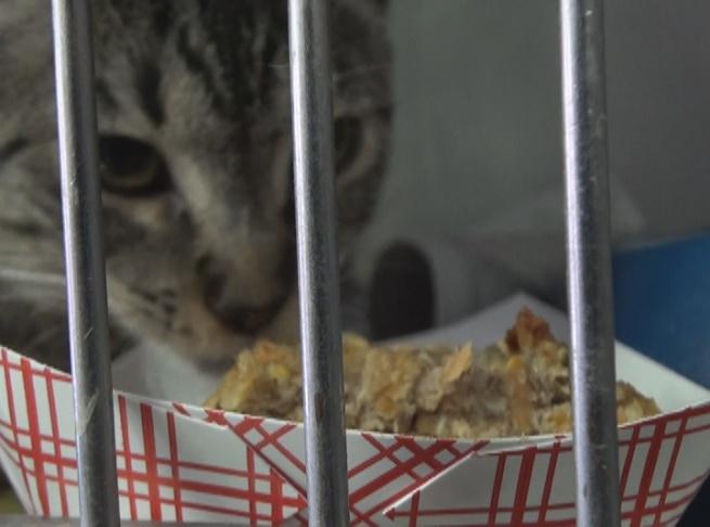 An adoptable cat eats a Thanksgiving feast.