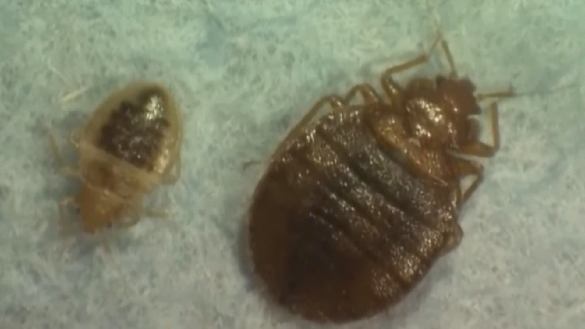 Image Result For Orkin Bed Bugs