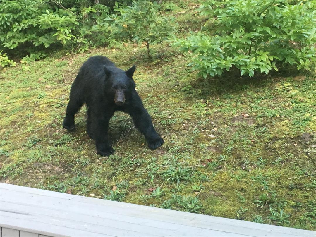 black bear in beckley backyard wowk 13 charleston huntington wv
